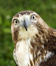 Hawk looking knowledgeable